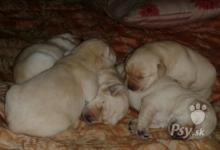Inzercia psov: Steniatka Labradora