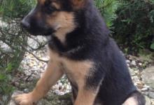 Inzercia psov: Krasna mlada fenka nemeckeho ovciaka alebo x
