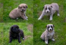 Inzercia psov: Oriešky