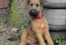 Inzercia psov: Štěňata irského teriéra s PP