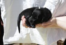 Inzercia psov: ČERNÍ PSI S PP odběr od poloviny JÚNA 2014