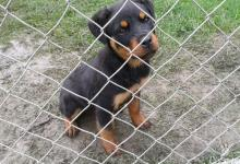 Inzercia psov: Rottweiler,rotvajler,rottvajler,RTW