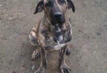 Inzercia psov: Predám Brazilskú filu