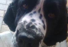 Inzercia psov: Anglický špringeršpaniel