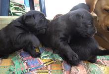 Inzercia psov: šteniatka Labradora