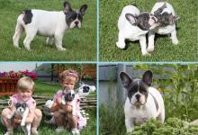 Inzercia psov: Nádherná Hravé Francúzsky buldoček šteniatka