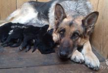 Inzercia psov: Nemecký ovčiak - 3 psíky a 2 fenky