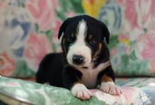 Inzercia psov: Appenzellský salašnícky pes - šteniatka s PP