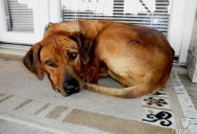 Inzercia psov: Rodézsky Ridgeback (Africký leví pes) - šteniatka