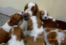 Inzercia psov: Prodám štěňata Welsh Springer Spaniel
