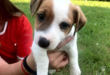 Inzercia psov: Predám šteniatka Jack russel teriéra