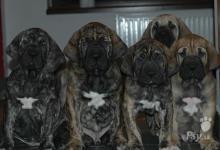 Inzercia psov: CHS Itolas nabízí štěňata Brazilské fily s PP