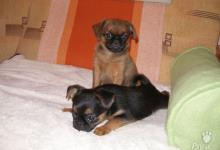 Inzercia psov: Brabantík - štěňata