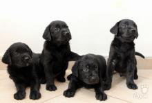 Inzercia psov: Predám Labradora