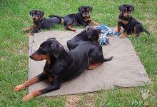 Inzercia psov: Německý pinč - poslední štěňátko s PP