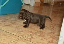 Inzercia psov: Predáme čokoládového angl. kokeršpaniela