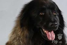Inzercia psov: ESTRELSKÝ PASTIERSKY PES - šteniatka