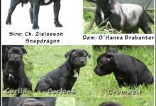 Inzercia psov: Predám šteniatka s PP
