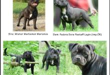 Inzercia psov: Predám 7 mesačného psíka s PP