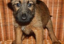 Inzercia psov: Irsky terier - fenka s PP