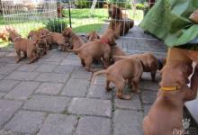Inzercia psov: Maďarský krátkosrstý stavač - vyžla s PP