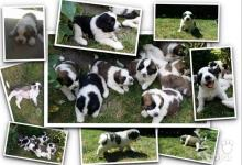 Inzercia psov: Moskovský strážny pes - šteniatka