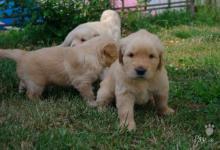 Inzercia psov: šteňatá Zlatý Retriever