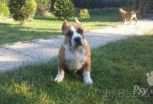 Inzercia psov: americky stafordsirsky terier pes s pp