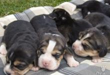 Inzercia psov: Prodám štěňátka bígla