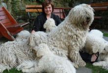 Inzercia psov: KOMONDOR – spolehlivý ochránce Vaší rodiny a majet