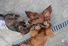 Inzercia psov:  Štěňata jezevčík standard dlouhosrstý s PP
