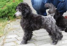 Inzercia psov: Pudl trpasličí stříbrný s PP - Nabídka
