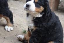 Inzercia psov: Bernský salašnícky pes