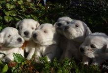Inzercia psov: Knírač malý bílý. Jedná se o špičkový vrh s PP.