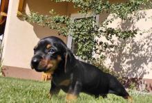 Inzercia psov: Ponuka - krátkosrsty jazvečik