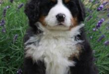 Inzercia psov: Poslední krásný pejsek k prodeji!