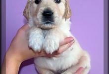 Inzercia psov: Štěňátka zlatého retrievera s PP - pejsci