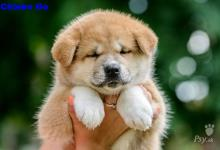 Inzercia psov: Akita Inu šteniatka