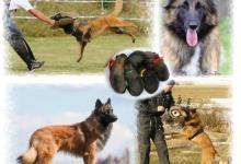 Inzercia psov: Belgický ovčák - Tervueren na sport a výcvik