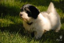 Inzercia psov: Havanský psík (bišonek) - štěně-pejsek s PP