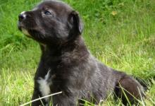 Inzercia psov: Irsky vlkodav - štěňátka s PP