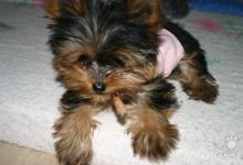Inzercia psov: krásne šteňa