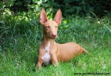 Inzercia psov: Štěňata faraonských psů