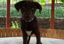 Inzercia psov: Šteniatko Labrador