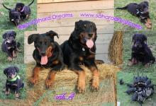 Inzercia psov: Beauceron štěňátka s PP