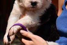Inzercia psov: Prodám štěňátka bobtaila