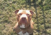 Inzercia psov: Ponúkam Psa na Krytie - Pitbullterier