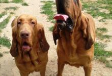 Inzercia psov: BLOODHOUND štěňátka
