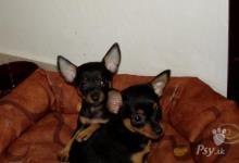 Inzercia psov: Predám ratlíky - šteniatka