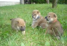 Inzercia psov: Prodám štěňata SHIBA INU s PP